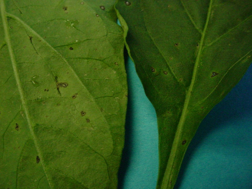 Pepper Plant Diseases Photos http://plantdoctor.pbworks.com/w/page/17167370/Pepper