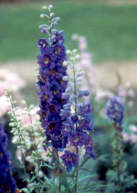 Myrtle Perennial Ground Cover: Plant Doctor / Perennial Flowers